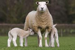 Sheep and lambs grazing in rural field Stock Photos
