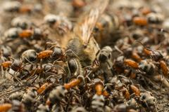 Ants Swarm Eating Dead Bee - stock photo