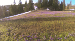 Flying over carpets of spring crocuses Stock Footage