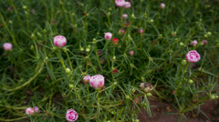 Timelapse of Blooming Flower,Selective Focus with Defocus Background Stock Footage