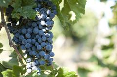 Merlot grapes on grapevine Stock Photos