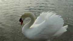 Swan and ducks at sundown Wildlife Footage Stock Footage