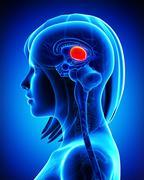 Anatomy of female Brain MIDBRAIN cross section - stock illustration