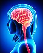 Female brain cross section Stock Illustration