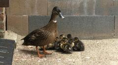 Wild Duck, mallard - anas platyrhynchos with ducklings sit together to keep warm - stock footage