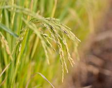 rice crop nearly ready for harvest - stock photo