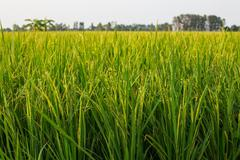 Rice crop nearly ready for harvest Stock Photos