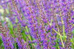 salvia officinalis flowers - stock photo