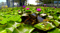 SINGAPORE-MAY 2014: Water lilies in pond by ArtScience museum Stock Footage