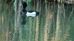 Couple Tufted ducks Stock Footage