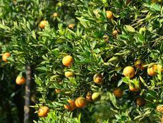 orange tree in garden - stock photo