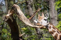 rothschild's giraffe licking a tree branch - stock photo