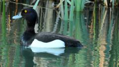 Tufted duck Stock Footage