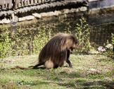 Stock Photo of gelada (theropithecus gelada)