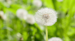 White dandelion sways on the wind, close up Stock Footage