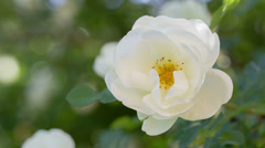 White brier rose flower on bush, closeup Stock Footage