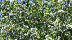 Apple tree white blossom background Stock Footage