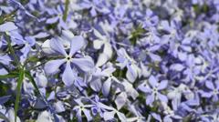 Periwinkle flowers Stock Footage