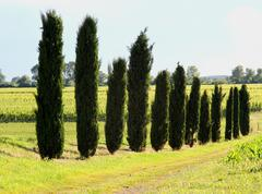 Long row of cypress trees in the field cultivated Stock Photos