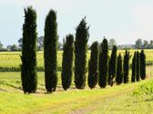Stock Photo of long row of cypress trees in the field cultivated