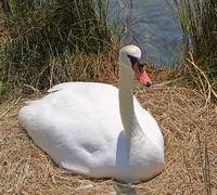 Elegant swan while hatching an egg next to the pool Stock Photos