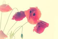 Wild poppy flower Kuvituskuvat