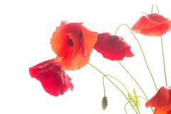 Luonnonvaraisten unikko kukka Kuvituskuvat