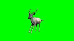 Kudu Antelope running - green screen Stock Footage