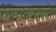 Wide Pan Shot of an Young Almond Orchard Stock Footage