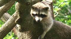 North American raccoon (procyon lotor) relaxing on a tree branch - on camera Stock Footage