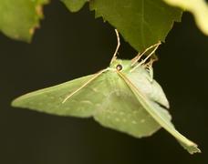 Geometra papilionaria - stock photo
