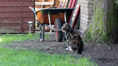 Striped cat sits in the garden in front of the wheelbarrow Stock Footage