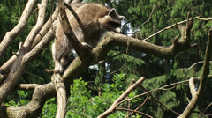 North American raccoon (procyon lotor) climbing a tree - tracking shot Stock Footage