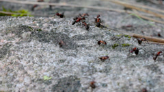 Ants on a rock Stock Footage