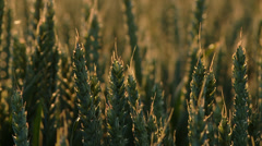 Grainfield in sunset Stock Footage