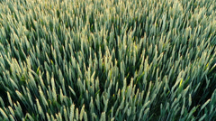 Grainfield in backlight Stock Footage