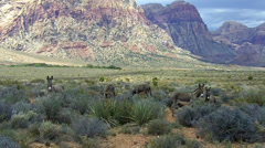 Wild Burros Grazing In Red Rock Canyon- Las Vegas NV Stock Footage