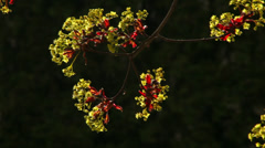 A sunlit maple branch with blossom and red leaves on dark green background. Stock Footage