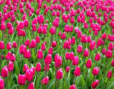 Stock Photo of red or pink tulips
