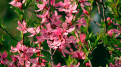Close up sunlit almond branches with pink blossom, waving on spring light wind. Stock Footage