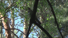 Song Wryneck Stock Footage