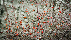bush with berries of wild rose in the ice fantastic picture. - stock footage