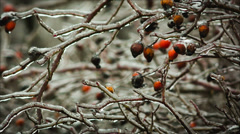 Bush with berries of wild rose in the ice fantastic picture. Stock Footage