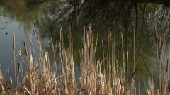 Cat Tails in the Lake Stock Footage