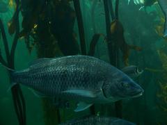 Underwater Fish in Kelp Forest Kuvituskuvat