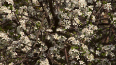 A cherry branches with sea of white splendid blossom Stock Footage