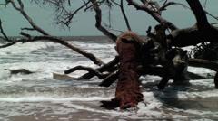 Dead palm tree in surf bone yard Stock Footage