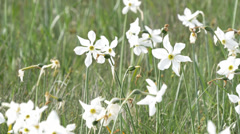 Poet's Daffodil flowers in a mountain meadow, at the end of the bloom.  4K UHD Stock Footage