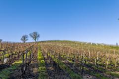 vineyard saint genes de lombaud bordeaux france - stock photo
