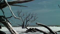 Dead tree bone yard sea shore Stock Footage